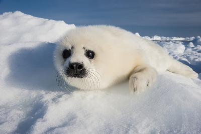 A Harp Seal Pup Rests on a Greatly Diminished Ice Pack in the Gulf of Saint Lawrence-David Doubilet-Photographic Print