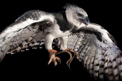 A Harpy Eagle, Harpia Harpyja, at the Los Angeles Zoo-Joel Sartore-Photographic Print
