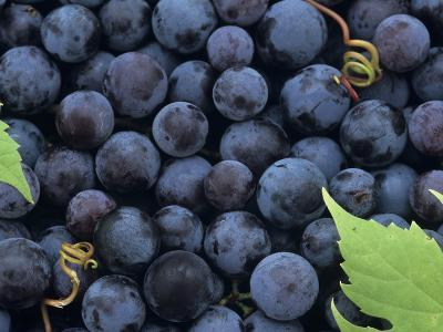 A Harvest of Juicy Concord Grapes (Vitis Labrusca)-Wally Eberhart-Photographic Print