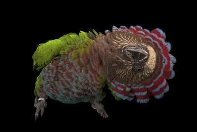 A Hawk-Headed Parrot, Deroptyus Accipitrinus-Joel Sartore-Photographic Print