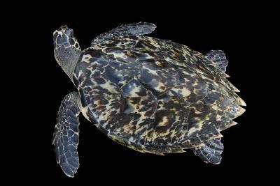 A Hawksbill Sea Turtle, Eretmochelys Imbricata, at Xcaret Park.-Joel Sartore-Photographic Print
