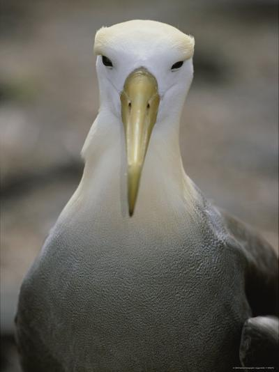 A Head-On Portrait of a Waved Albatross-Michael Melford-Photographic Print