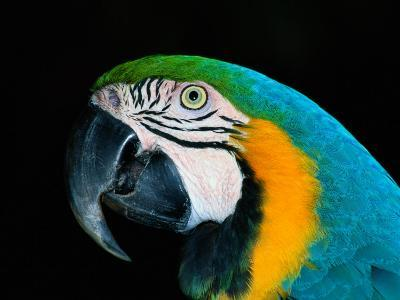 A Head-Only View of a Captive Blue and Yellow Macaw-Tim Laman-Photographic Print