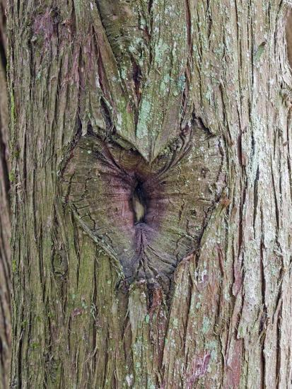 A Heart Carving in a Tree at Englishman River Falls Provincial Park-Rich Reid-Photographic Print