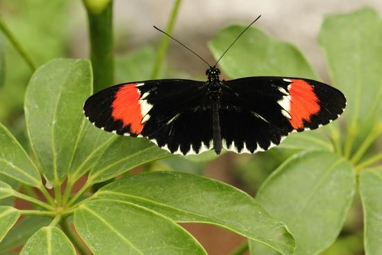 A Heliconius Butterfly Resting on a Plant-Darlyne A^ Murawski-Photographic Print