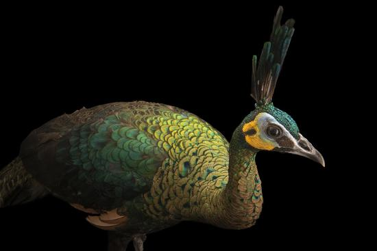 A Hen Indochinese Green Peafowl, Pavo Muticus Imperator-Joel Sartore-Photographic Print