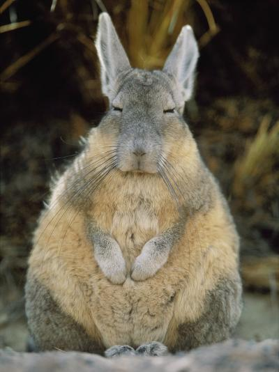 A Herbivorous Viscacha Puffs up against the Sharp Desert Cold-Joel Sartore-Photographic Print