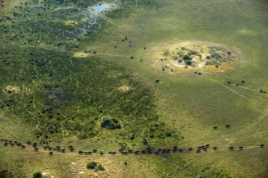A Herd of African Buffalo, Syncerus Caffer, Walk on a Path-Beverly Joubert-Photographic Print