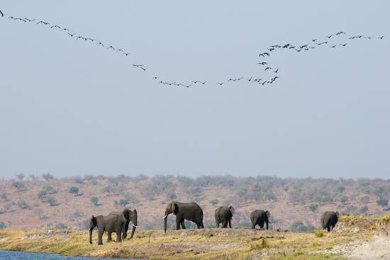 A Herd of African Elephants, Loxodonta Africana, Along Chobe River-Sergio Pitamitz-Photographic Print