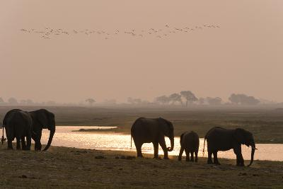 A Herd of African Elephants, Loxodonta Africana, Along the Banks of Chobe River at Sunset-Sergio Pitamitz-Photographic Print