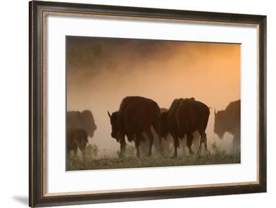 A Herd of American Bison, Bison Bison, in a Dust Cloud at Sunset-Michael Forsberg-Framed Photographic Print