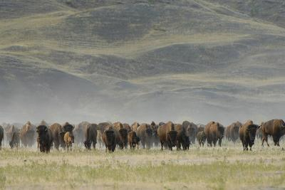 A Herd of American Bison, Bison Bison, in a Hilly Grassland Landscape-Michael Forsberg-Photographic Print