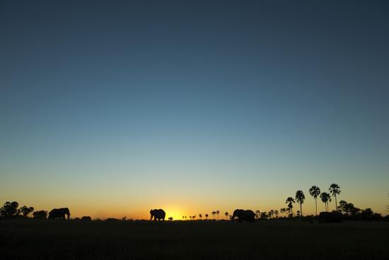 A Herd of an African Elephant, Loxodonta Africana, Graze in the Distance at Sunset-Beverly Joubert-Photographic Print