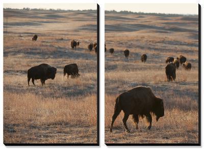 A Herd of Bison Roam on a Ranch-Joel Sartore-Canvas Art Set
