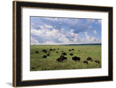 A Herd of Buffalo Walk Along the Plains-Michael Forsberg-Framed Photographic Print