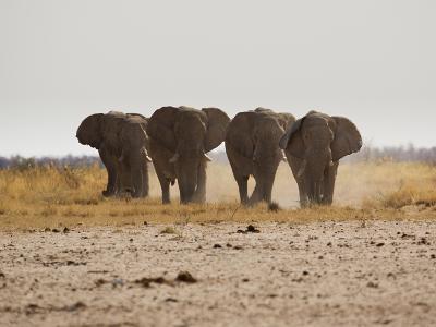 A Herd of Bull Elephants in Etosha National Park-Alex Saberi-Photographic Print