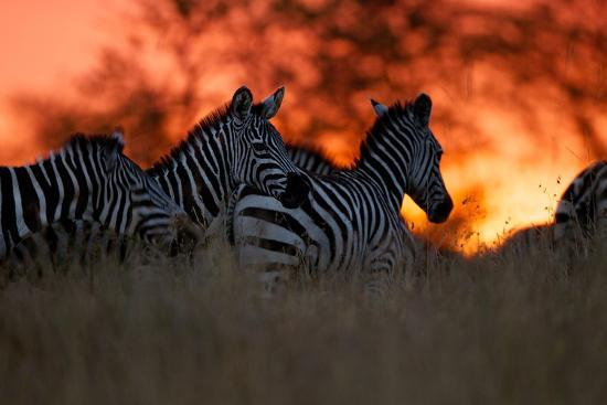 A Herd of Burchell's Zebra Move across the Plains of the Serengeti-Michael Nichols-Photographic Print