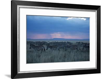 A Herd of Burchell's Zebra Move across the Plains of the Serengeti-Michael Nichols-Framed Photographic Print