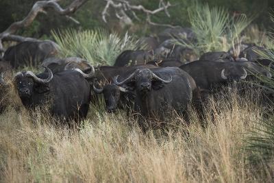 A Herd of Cape Buffalo-Bob Smith-Photographic Print