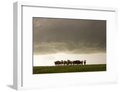 A Herd of Cattle Standing Side-By-Side, in a Perfect Row, in a Field under a Thunderstorm-Mike Theiss-Framed Photographic Print