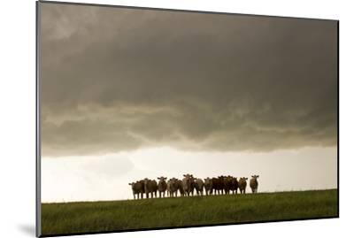 A Herd of Cattle Standing Side-By-Side, in a Perfect Row, in a Field under a Thunderstorm-Mike Theiss-Mounted Photographic Print