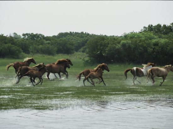 A Herd of Chincoteague Ponies Thunder Through the Assateague Marshes-Medford Taylor-Photographic Print