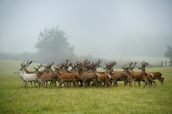 A Herd of Deer on a Farm in Auchtermuchty-Jim Richardson-Photographic Print