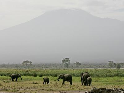 A Herd of Elephant Graze with Mount Kilimanjaro--Photographic Print