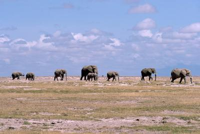 A Herd of Elephants Ambles in Line across the Plains in Amboseli National Park-Shannon Switzer-Photographic Print