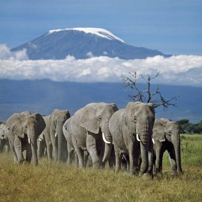 A Herd of Elephants with Mount Kilimanjaro in the Background-Nigel Pavitt-Photographic Print