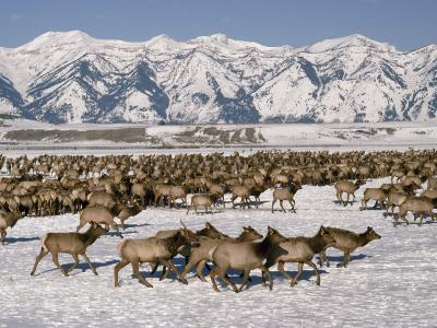 A Herd of Elk Moving Through the Snow Covered Rangeland of the National Elk Refuge-Raymond Gehman-Photographic Print