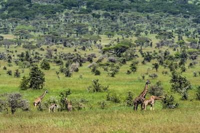 https://imgc.artprintimages.com/img/print/a-herd-of-giraffe-feeding-on-an-open-acacia-woodland-with-a-bull-following-a-doe-in-estrus_u-l-pol33x0.jpg?p=0