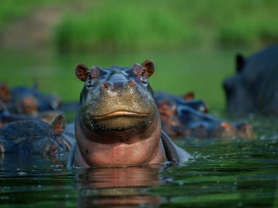 A Herd of Hippopotamuses-Beverly Joubert-Photographic Print