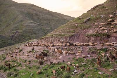 A Herd of Llamas, Alpacas and Sheep Round a Mountain Bend in Peru-Erika Skogg-Photographic Print