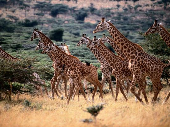 A Herd of Masai Giraffes on the African Plains-Tim Laman-Photographic Print