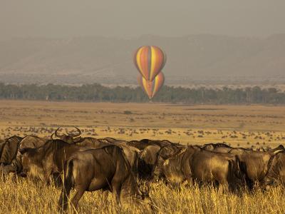 A Herd of Migrating Wildebeests, Connochaetes Taurinus-Beverly Joubert-Photographic Print