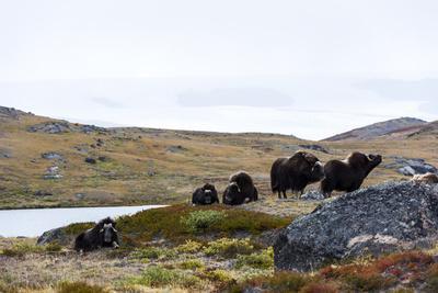 https://imgc.artprintimages.com/img/print/a-herd-of-musk-ox-grazing-on-the-tundra-near-the-greenland-ice-sheet_u-l-pyyddt0.jpg?p=0