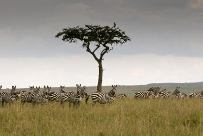 A Herd of Plains Zebras, Equus Quagga, Gathered Near an Acacia Tree-Sergio Pitamitz-Photographic Print