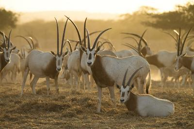 A Herd of Scimitar-horned Oryx On the Sir Bani Yas Island Reserve-Ira Block-Photographic Print