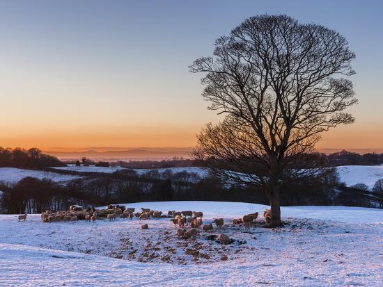A Herd of Sheep Grazing in the Winter Snow Near Delamere Forest, Cheshire, England-Garry Ridsdale-Photographic Print