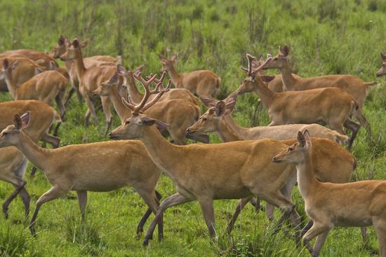 A Herd Of Swamp Deer In Kaziranga National Park-Steve Winter-Photographic Print