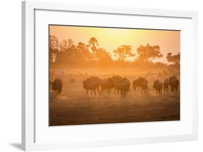 A Herd of Wildebeests on the Move in Botswana's Moremi Game Reserve-Cory Richards-Framed Photographic Print