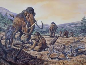 A Herd of Woolly Mammoth and Scimitar Sabertooth, Pleistocene Epoch