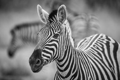 A Herd of Zebra Grazing in the Early Morning in Etosha, Namibia-Udo Kieslich-Photographic Print