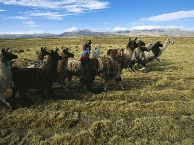 A Herder Walks Her Flock of Llamas Towards Lake Titicaca-Kenneth Garrett-Photographic Print