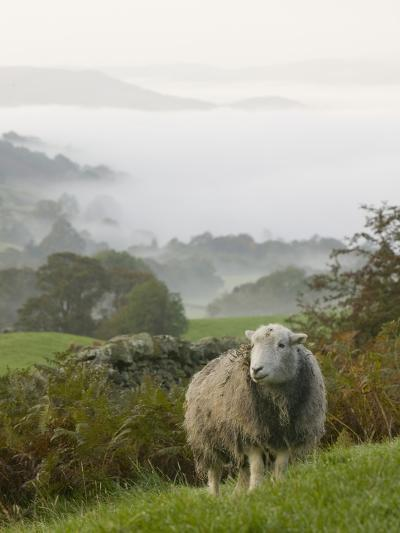 A Herdwick Sheep in the Lake District, United Kingdom-Ashley Cooper-Photographic Print