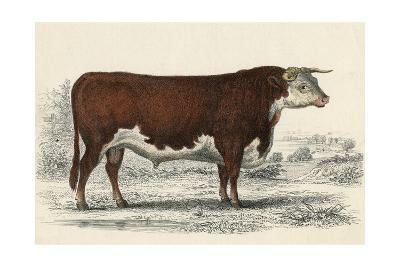 A Hereford or Herefordshire Bull--Giclee Print