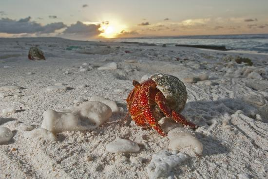 A Hermit Crab Crawls on a Sandy Beach on the Deserted Starbuck Island in the Southern Line Islands-Mauricio Handler-Photographic Print