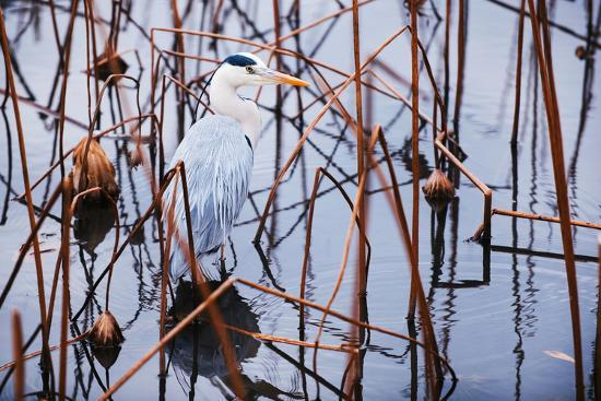 A Heron in a Marsh-Max Lowe-Photographic Print