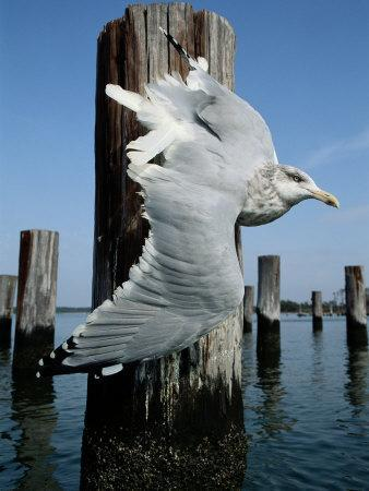 A Herring Gull Flies Among Weathered Pilings-George Grall-Photographic Print